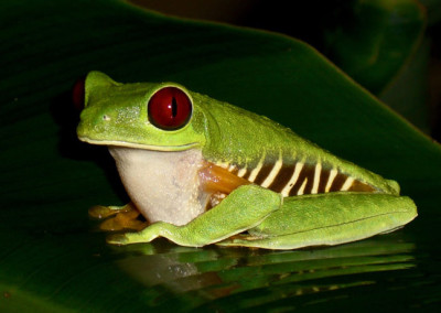 Red-Eyed-Frog-at-villas-rev-9x6